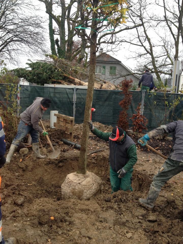 Plantation de grands arbres